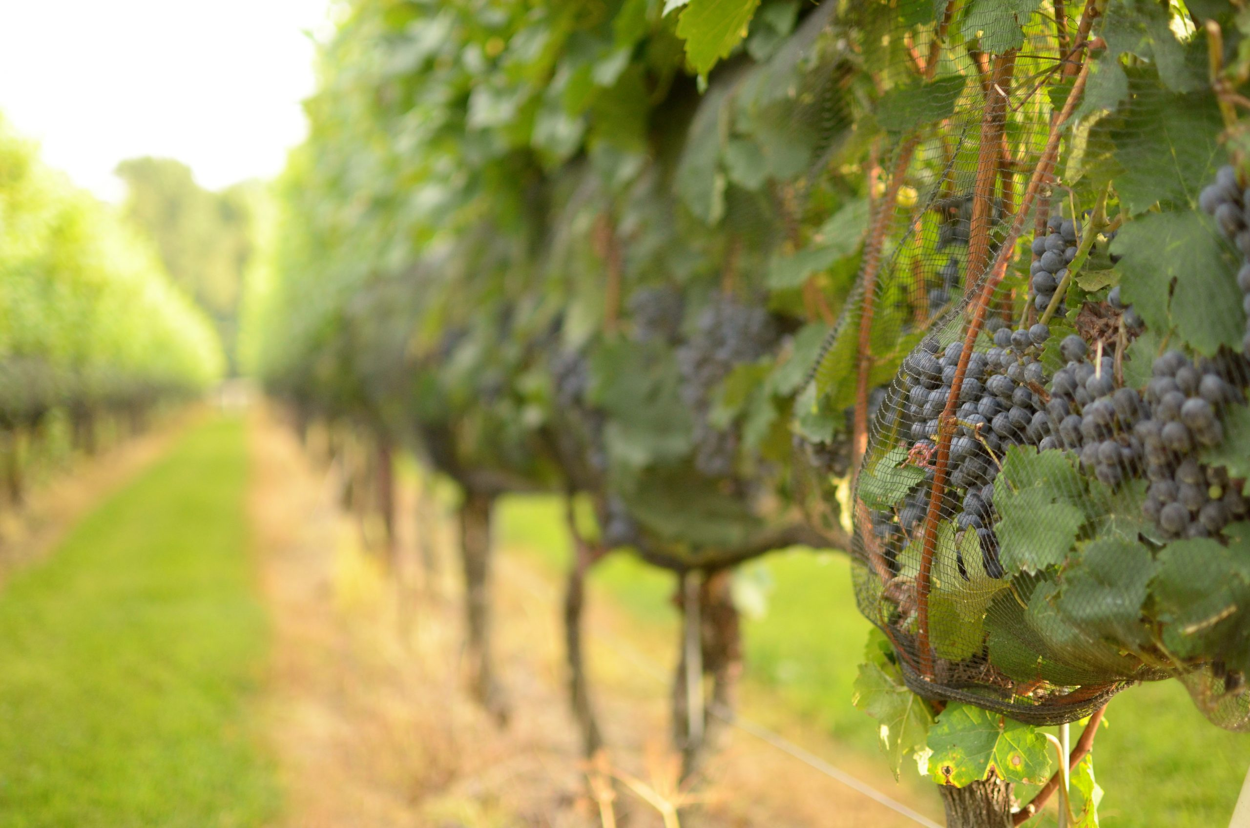 Photo of grapes at Grace Winery